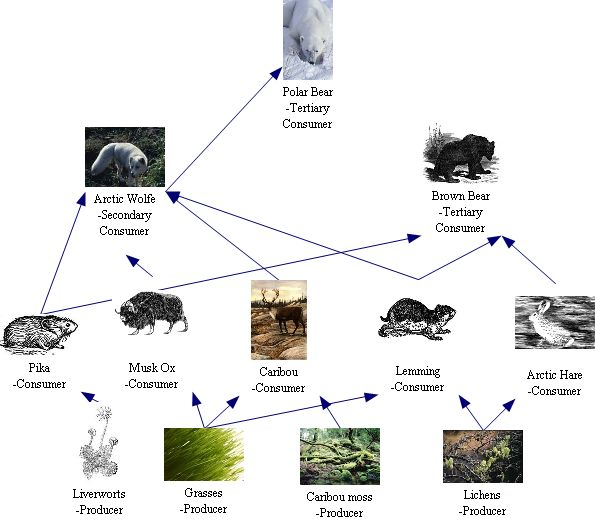 Food Web Polar Bear http://tundrabiome3.weebly.com/the-food-chain.html